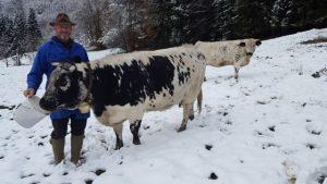 Total begeisterter Sprinzenzüchter – Anton Mittendorfer mit seiner Chef-Sprinzenkuh ELSA PSS (V: Bumsti) geboren 2011
